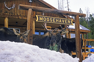 Three Moose (Alces alces) eating grass in front of a sign for Moosehaven, Wyoming, USA, January  -  Shattil & Rozinski/ npl