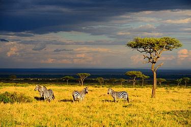 Savanna landscape wirh Grants zebras (Equus quagga boehmi) and acacia trees, Masai Mara National Reserve, Kenya, Africa  -  Eric Baccega/ npl