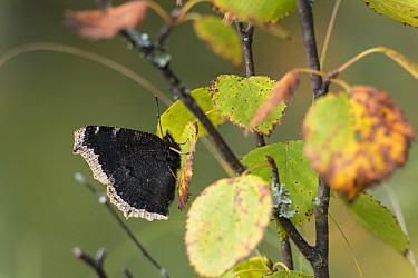 Camberwell beauty butterfly (Nymphalis antiopa) Joutsa (formerly Leivonmaki), Finland, August  -  Unknown photographer