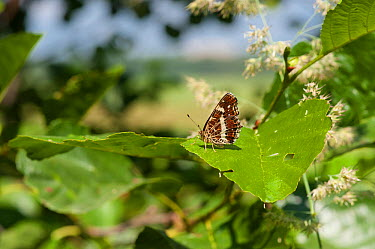 Map Butterfly (Araschnia levana) second generation female, southern Finland, July  -  Unknown photographer