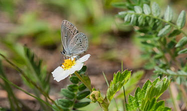 Small Blue butterfly (Cupido minimus) female feeding on wild strawberry flower (Fragaria vesca), Heinola, southern Finland, May  -  Unknown photographer