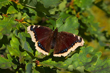 Camberwell beauty butterfly (Nymphalis antiopa) central Finland, August  -  Unknown photographer