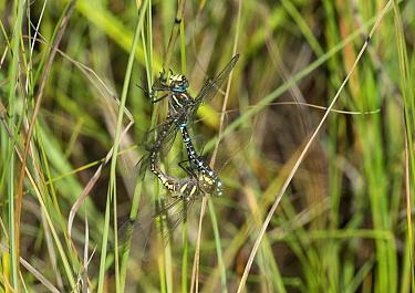 Common Hawker dragonflies (Aeshna juncea) copulating, Joutsa (formerly Leivonmaki), Finland, September  -  Unknown photographer