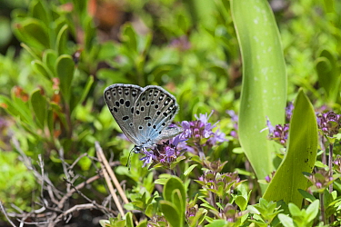 Large Blue butterfly ( Phengaris arion) feeding, eastern Finland, June  -  Unknown photographer