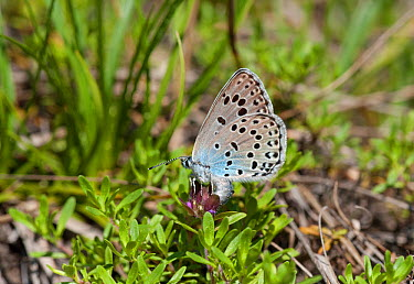 Large Blue butterfly (Phengaris arion) female laying eggs, eastern Finland, June  -  Unknown photographer