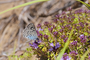 Large Blue butterfly (Phengaris arion) male feeding on nectar, eastern Finland, June  -  Unknown photographer