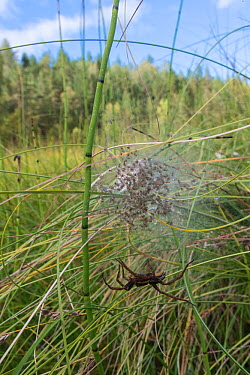 Raft spider (Dolomedes fimbriatus) with a web of spiderlings, Finland, September  -  Unknown photographer