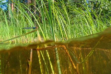 Red-eyed Damselfly (Erythromma najas) male in habitat, eastern Finland, July  -  Unknown photographer