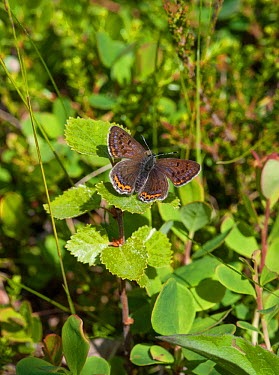 Violet Copper (Lycaena helle) female, northern Finland, June  -  Unknown photographer
