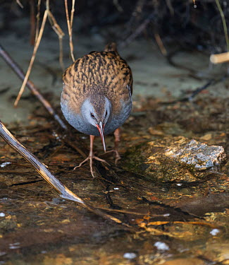 Water Rail (Rallus aquaticus) walking in shallow water, Kanta-Hame, southern Finland, January  -  Unknown photographer