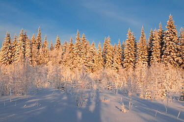 Coniferous forest in winter, central Finland, January  -  Unknown photographer