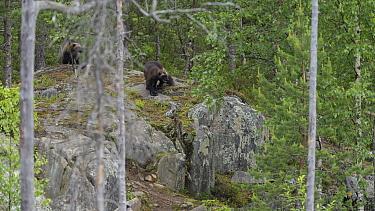 Wolverine (Gulo gulo) in forest, northern Finland, June  -  Unknown photographer