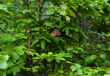 Woodland brown butterfly (Lopinga achine) male in flight, Kanta-Hame, southern Finland, June  -  Unknown photographer