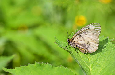 Clouded Apollo (Parnassius mnemosyne) female, southwest Finland, June  -  Unknown photographer