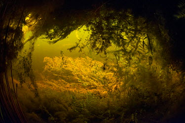 View looking out from underneath floating reedbed to a area of Soft hornwort (Ceratophyllum submersum) swaying in the current, tributary of the Danube Delta, Romania, June  -  WWE/ Lundgren/ npl