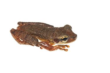 Cayenne slender-legged treefrog (Osteocephalus leprieurii) Kanuku Mountains, Guyana Meetyourneighboursnet project  -  MYN/ Andrew Snyder/ npl
