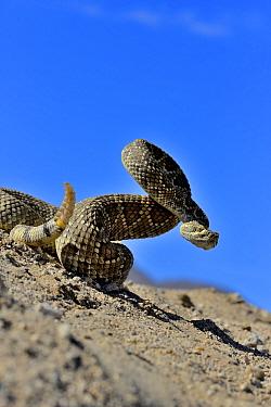 Mojave rattlesnake (Crotalus scutulatus) Mojave desert, California, June  -  Daniel Heuclin/ npl