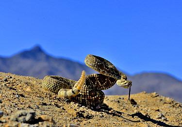 Mojave rattlesnake (Crotalus scutulatus) rattling, Mojave desert, California, June  -  Daniel Heuclin/ npl
