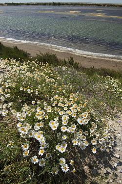 Seaside chamomile (Anthemis maritima) in flower near beach, Camargue, France, June  -  Jean E. Roche/ npl
