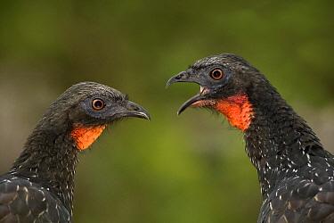 Dusky-legged guans (Penelope obscura) interacting, Parque do Caraca, Minas Gerais, Brazil  -  Angelo Gandolfi/ npl
