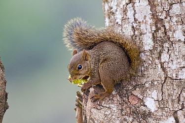 Brazilian Squirrel (Sciurus aestuans ingrami) in Cerrado, October, Parque do Caraca, Minas Gerais, Brazil  -  Angelo Gandolfi/ npl