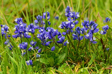 Chalk Milkwort (Polygala calcarea) clump flowering on chalk grassland slope, Barbury Castle, Marlborough Downs, Wiltshire UK, June  -  Nick Upton/ npl