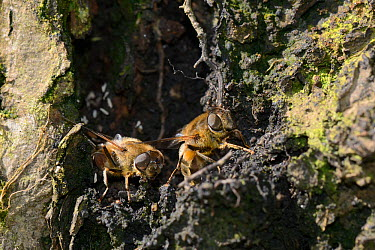 Two female Drone flies (Eristalis tenax) laying eggs in a damp hollow log at the margin of a pond, Wiltshire, UK, May  -  Nick Upton/ npl