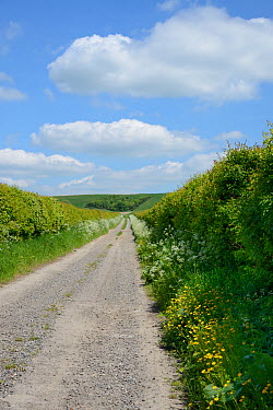 Farm track leading to The Ridgeway with Cow parsley (Anthriscus sylvestris) and Buttercups (Ranunculus acris) flowering on the verges, Berwick Basset, Marlborough Downs, Wiltshire, UK, June  -  Nick Upton/ npl
