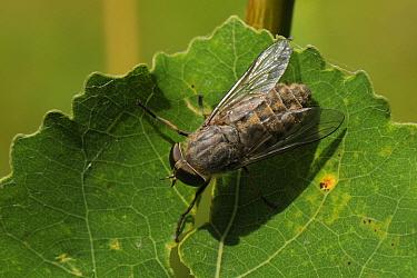 Band-eyed brown horsefly, Horse fly (Tabanus bromius) basking on leaf, Wiltshire woodland, UK, July  -  Nick Upton/ npl