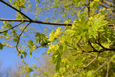 Norway maple (Acer platanoides) young leaves and flowers in spring, Wiltshire, UK, May  -  Nick Upton/ npl