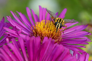 Head on view of a Sunfly (Helophilus pendulus) feeding on on Pink aster (Aster novae-angliae) in a Wiltshire garden, UK, September  -  Nick Upton/ npl