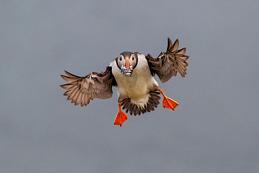 Atlantic Puffin (Fratercula arctica) in flight, coming into land with beak full of sand eels (Ammodytes tobianus) Fair Isle, Shetland Islands, Scotland, UK, July  -  Andy Trowbridge/ npl