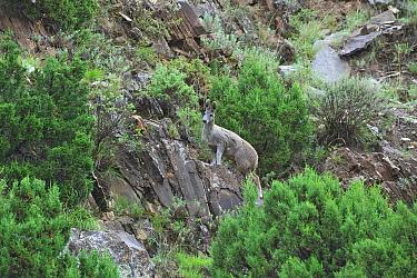 Alpine musk deer (Moschus sifanicus) in habitat, Sanjiangyuan National Nature Reserve, Qinghai Province, Qinghai Tibet Plateau, China, August  -  Dong Lei/ npl