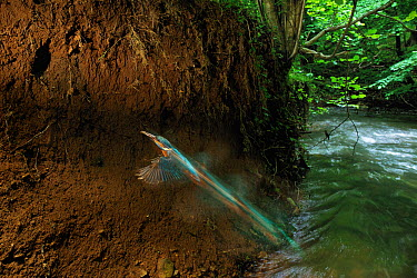 Kingfisher (Alcedo atthis) flies into its nest trailing a blur of blue, whilst his partner watches from down river River Boyd, South Gloucestershire, UK, June 2012 Runner up in the Bird Category of Wi...  -  Charlie Hamilton James/ npl