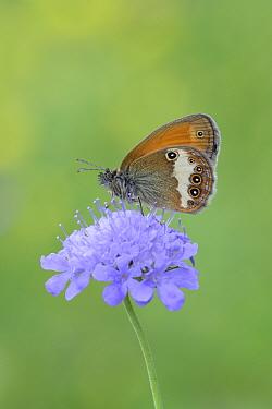 Pearly heath butterfly (Coenonympha arcania) on flower head, near Viscos, Pyrenees National Park, France, July  -  Robert Thompson/ npl