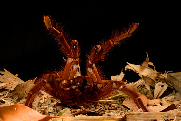 Goliath bird-eating spider (Theraphosa leblondii, blondi) aggressive display, captive from French Guiana  -  Daniel Heuclin/ npl
