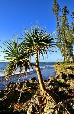 Thatch screwpine (Pandanus tectorius) and Cook pine (Araucaria columnaris) Pine island, New Caledonia  -  Daniel Heuclin/ npl
