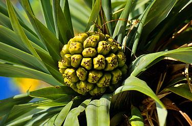 Screwpine (Pandanus tectorius) Pine island, New Caledonia  -  Daniel Heuclin/ npl