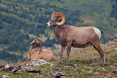 Rocky Mountain Bighorn Sheep (Ovis canadensis) young ram in subservient behaviour to dominant ram, Rocky Mountain National Park, Colorado, USA, August  -  Charlie Summers/ npl