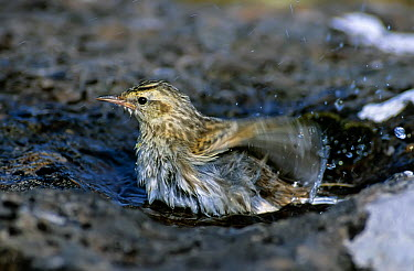 New Zealand Pipit (Anthus novaeseelandiae aucklandica) bathing in rain puddle Adams Island, Auckland Group, New Zealand  -  Tui De Roy/ npl