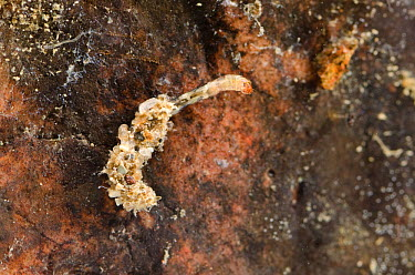 Non-biting midge larva (Chironomidae) in the shelter attached to the stone, Europe, August, controlled conditions  -  Jan Hamrsky/ npl