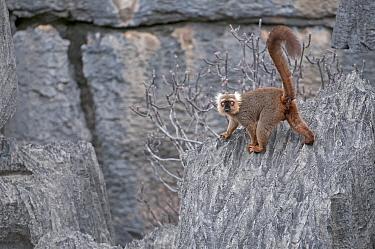 Sanford's brown lemur (Eulemur sanfordi) male, Ankarana NP, Madagascar  -  Bernard Castelein/ npl