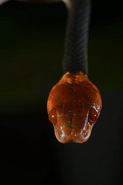 Tropical flat snake (Siphlophis compressus) portrait, French Guiana  -  Daniel Heuclin/ npl