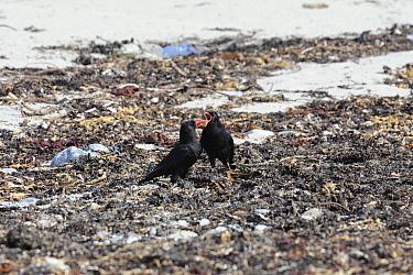 Chough (Pyrrhocorax pyrrhocorax) adult feeding fledged youngster on seaweed covered beach Bardsey Island, Gwynedd, North Wales, UK  -  Mike Potts/ npl