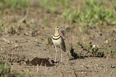 Three-banded Sandplover (Charadrius tricollaris) standing on ground, Serengeti, Tanzania  -  Mike Wilkes/ npl