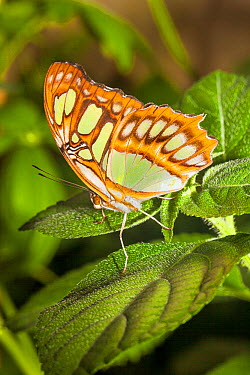 Malachite Butterfly (Siproeta stelenes) captive, native from North America to Brazil,  -  Rod Williams/ npl