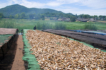 Drying Cichlid fish (Copadichromis sp) known locally as Utaka, on racks on the shore of Lake Malawi, Malawi March 2009  -  Will Watson/ npl