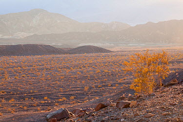 Creosote bush (Larrea tridentata) with Echo Canyon below, under the golden light of sunset, Death Valley National Park, California, USA, November 2013  -  Floris Van Breugel/ npl