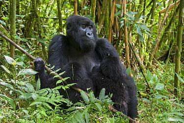Mountain Gorilla (Gorilla gorilla beringei) mother suckling twins age one and a half years Parc National des Volcans, Rwanda Endangered species  -  Suzi Eszterhas/ npl