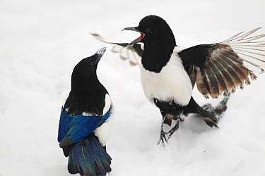 Magpies (Pica pica) in fight in snow, Norway, January  -  Pal Hermansen/ npl
